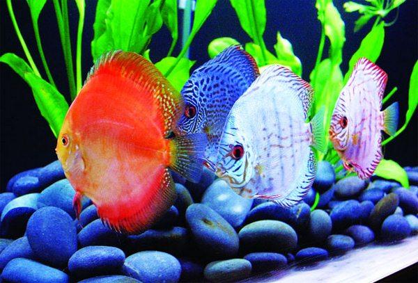 Số lượng và màu sắc cá trong bể theo phong thủy ngũ hành