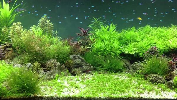 Hồ cá với cây thủy sinh lá nhỏ