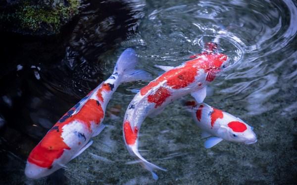 Cá chép Koi là biểu tượng của sự may mắn, thành công.
